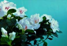 Brotes blancos de flores y porciones de verdor en el pote foto de archivo