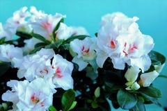 Brotes blancos de flores y porciones de verdor en el pote fotografía de archivo