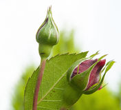 Brotes color de rosa de apertura en un jardín Fotos de archivo libres de regalías