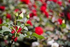Brotes color de rosa del blanco en resorte Fotografía de archivo libre de regalías