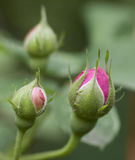 Brotes color de rosa del color de rosa Fotografía de archivo