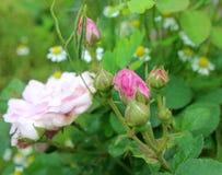 Brotes color de rosa del té en el fondo verde con la manzanilla Fotos de archivo libres de regalías