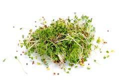 Brotes de alfalfa Imagen de archivo