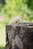 Brotes de alfalfa Fotos de archivo libres de regalías