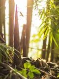 Brotes de bamb? en los grupos de bamb? imagen de archivo libre de regalías