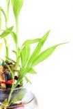 Brotes de bambú sagrados Fotos de archivo libres de regalías