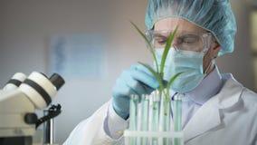 Brotes de examen científicos del técnico de laboratorio de cereales artificial excretados almacen de metraje de vídeo
