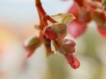 Brotes de flor de Angel Wing Begonia Imagen de archivo