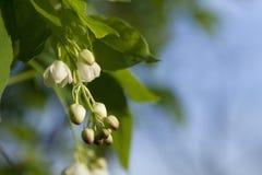 Brotes de flor blanca Imagen de archivo libre de regalías