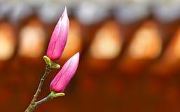 Brotes de flor de la magnolia Fotos de archivo libres de regalías