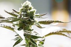 Brotes de flor de la marijuana Fotos de archivo libres de regalías