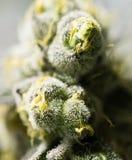 Brotes de flor de la marijuana Fotografía de archivo