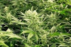 Brotes de flor de la marijuana imágenes de archivo libres de regalías