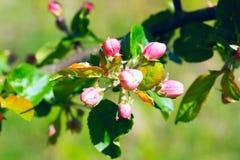 Brotes de flor de los manzanos Imágenes de archivo libres de regalías