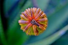 Brotes de flor de vera del áloe Imagenes de archivo
