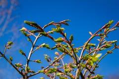 Brotes de flor del árbol de la primavera Foto de archivo