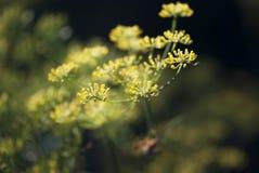 Brotes de flor del eneldo Fotografía de archivo libre de regalías