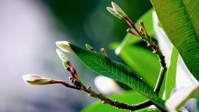 Brotes de flor del Frangipani Imagen de archivo