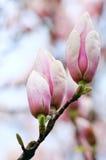 brotes de flor del Magnolia-árbol Foto de archivo