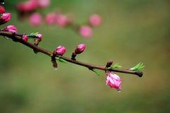 Brotes de flor del melocotón después de la lluvia Imagenes de archivo