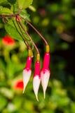 Brotes de flor hermosos del blanco y del fuscha Foto de archivo
