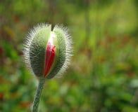 Brotes de flor jovenes de la amapola en el jardín imagen de archivo libre de regalías