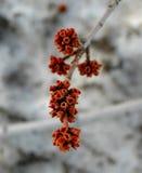 Brotes de flor rojos en un árbol Fotos de archivo libres de regalías