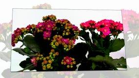 Brotes de flor rojos florecientes del tsmall almacen de video