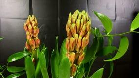 Brotes de flor rojos florecientes del tsmall almacen de metraje de vídeo
