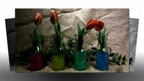 Brotes de flor rojos florecientes de los tulipanes almacen de video