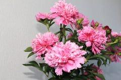 Brotes de flor rosados de la peonía Fotos de archivo libres de regalías