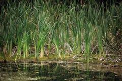 Brotes de Greesn del pantano de la espadaña Fotografía de archivo libre de regalías