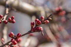Brotes de la cereza en una rama Imagen de archivo libre de regalías