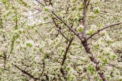 Brotes de la flor de cerezo en árbol Fondo del resorte Imagenes de archivo