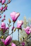 Brotes de la magnolia Ramas de una magnolia Foto de archivo libre de regalías