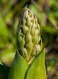 Brotes de la orquídea Imagenes de archivo