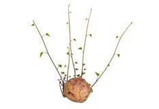 Brotes de la patata dulce y hojas del verde en el fondo blanco foto de archivo libre de regalías