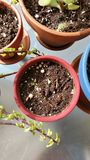 Brotes de la planta en pote Imagen de archivo libre de regalías