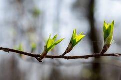 Brotes de la primavera Foto de archivo libre de regalías