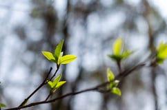 Brotes de la primavera Fotos de archivo libres de regalías