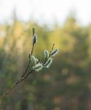 Brotes de la primavera en una rama Imagen de archivo