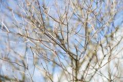 Brotes de la rama de árbol de la primavera Foto de archivo