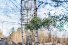 Brotes de la rama de árbol de la primavera Imágenes de archivo libres de regalías