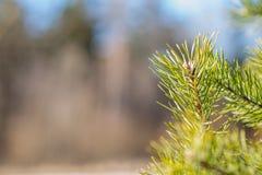 Brotes de la rama de árbol de la primavera Imagen de archivo libre de regalías