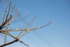 Brotes de la rama de árbol de la primavera Fotografía de archivo libre de regalías