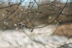 Brotes de la rama de árbol de la primavera Fotos de archivo