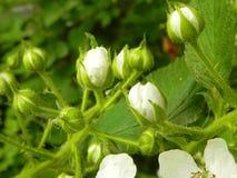 Brotes de la zarzamora floreciente de las flores imagen de archivo libre de regalías
