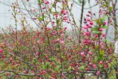 Brotes de las flores rosadas del melocotón Fotografía de archivo libre de regalías