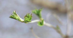 Brotes de los manzanos en primavera metrajes