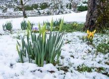 Brotes de narcisos en la nieve Foto de archivo libre de regalías